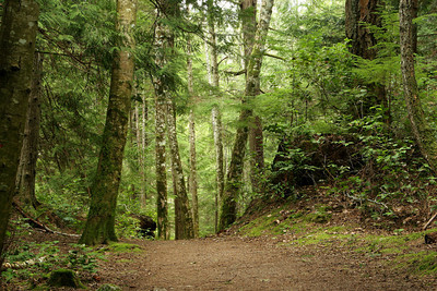 Old growth forest in Sechelt, Vancouver.