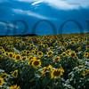 townville_sunflowers_DJI_0332-2