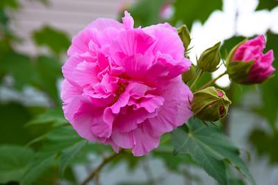 Confederate Rose at Hatties Meadows