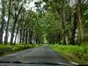 EucalyptusTunnel