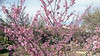 PinkBlossoms1