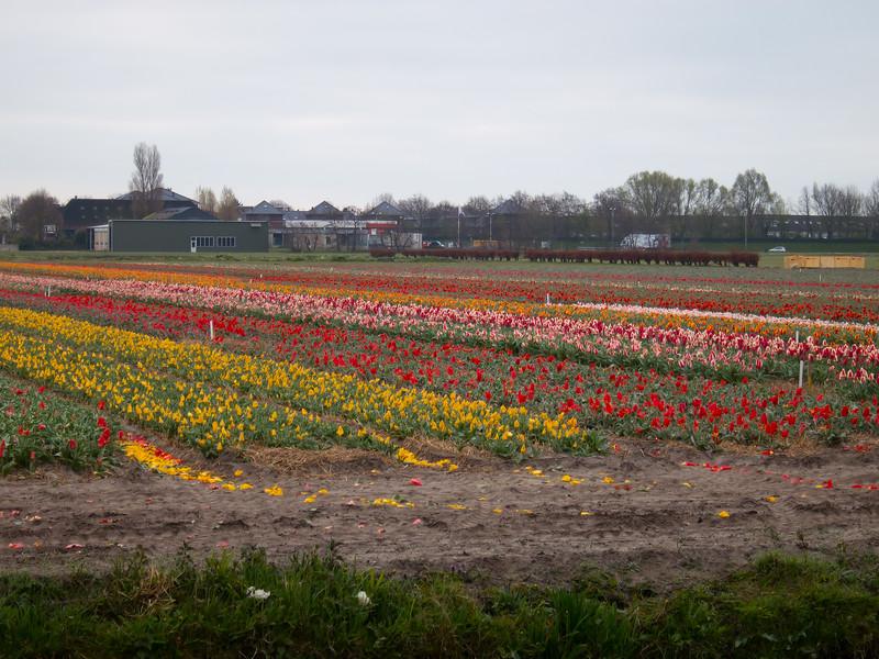 HollandTulipField