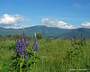 Franconia Notch and the White Mountains behind a field of Lupine