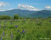Franconia Notch as seen from a field of Lupine