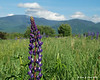 Lupine in Sugarhill, NH with the White Mountains as a back drop