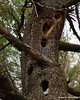 4-26-10<br /> Pine pitch dripping down over woodpecker holes