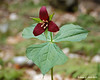 5/2/13<br /> Purple Trillium