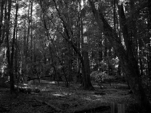 California Redwoods Cowell State Park (4)
