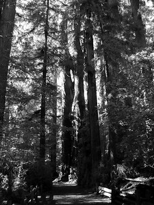 California Redwoods Cowell State Park (7)