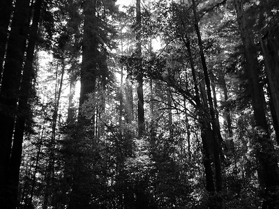 California Redwoods Cowell State Park (6)