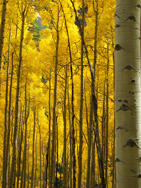aspens in fall 2 jpg