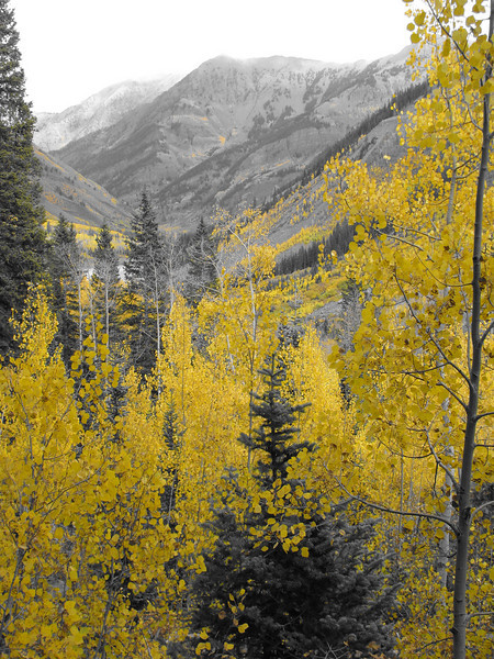 aspens in fall 3 jpg
