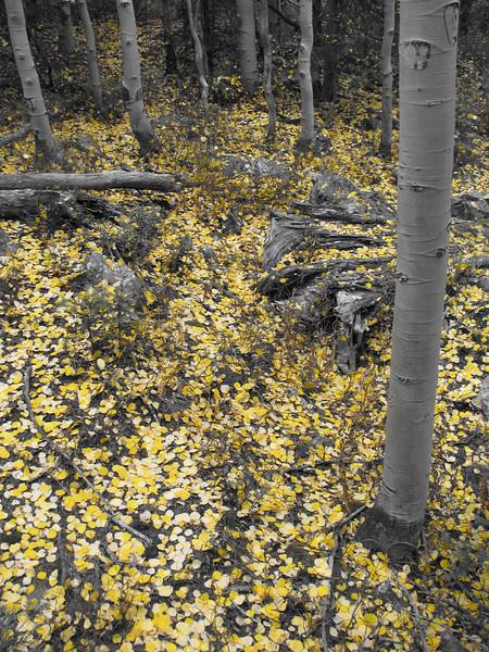 aspens in fall 4 jpg