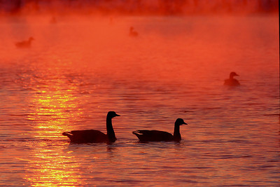 Geese during evening fog in Coaldale..