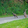 WildTurkeys4