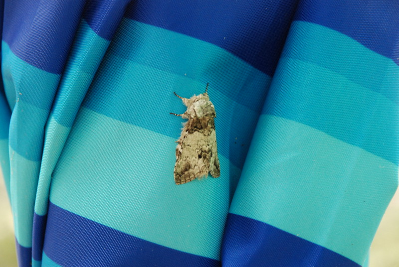 Crazy Moth