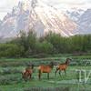 even the elk  can enjoy the views, Grand Tetons