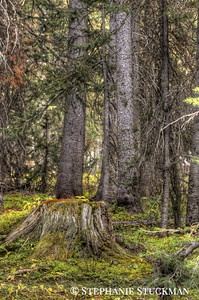 Mossy Spruce Tree
