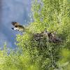 evening flight , an Osprey leaving the nest, along the Snake River ,Wilson ,Wyoming
