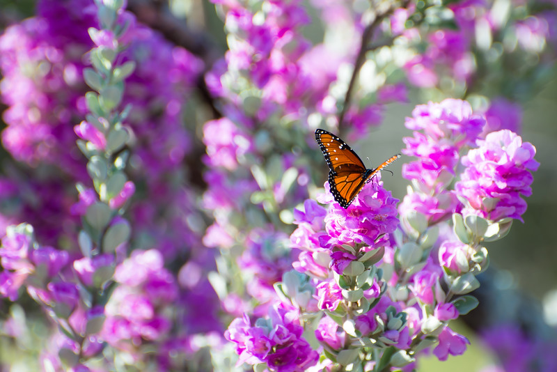 Purple Sage Queen Butterfly