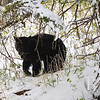 a black bear  , travels through the valley at Tower junction , Yellowstone N.P.