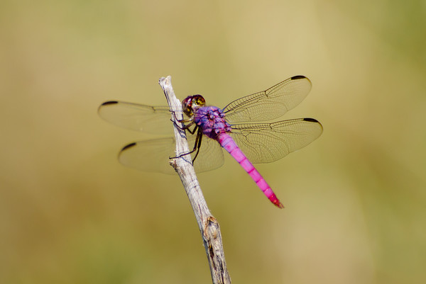 Pink and Purple Dragonfly