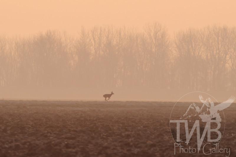 the fog run, buck running through the fields