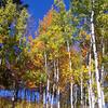 the early fall aspens of Grand Tetons