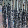 """"""" rubbing trees"""" , Aspens show their markings in the Rocky Mountain N.P."""