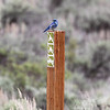 """""""compliance officer"""", a mountain blue bird in the national forrest outside Teton N.P."""