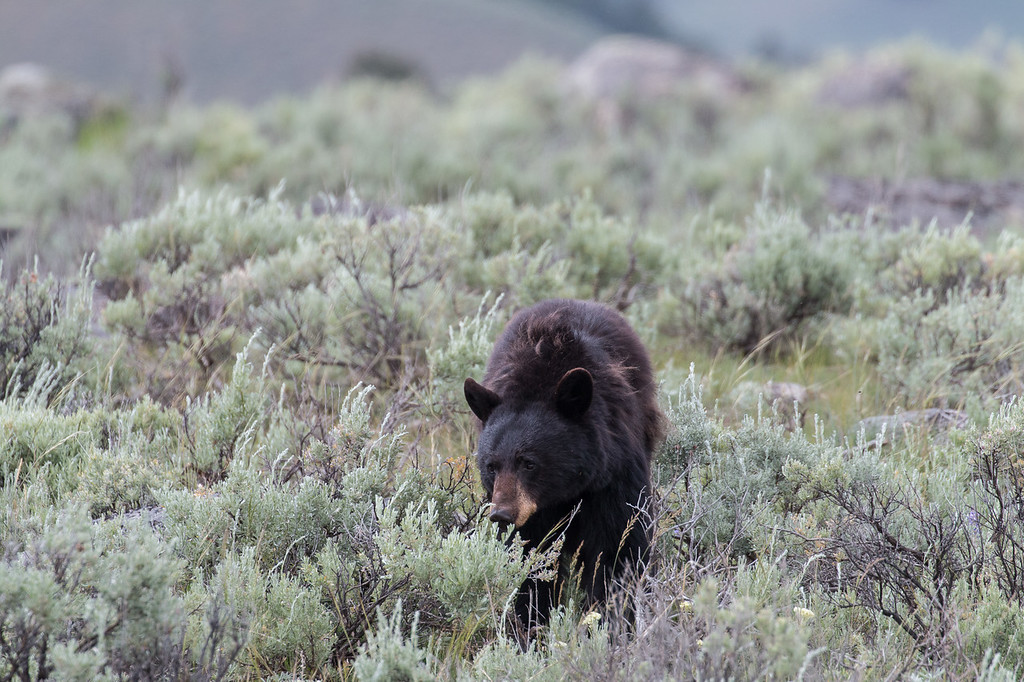 IMAGE: https://photos.smugmug.com/Scenery2/Yellowstone-and-Grand-Teton-NP/i-5kLGbGs/0/XL/IMG_7570-XL.jpg