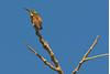 Berylline hummingbird