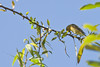 Western Tanager, Female