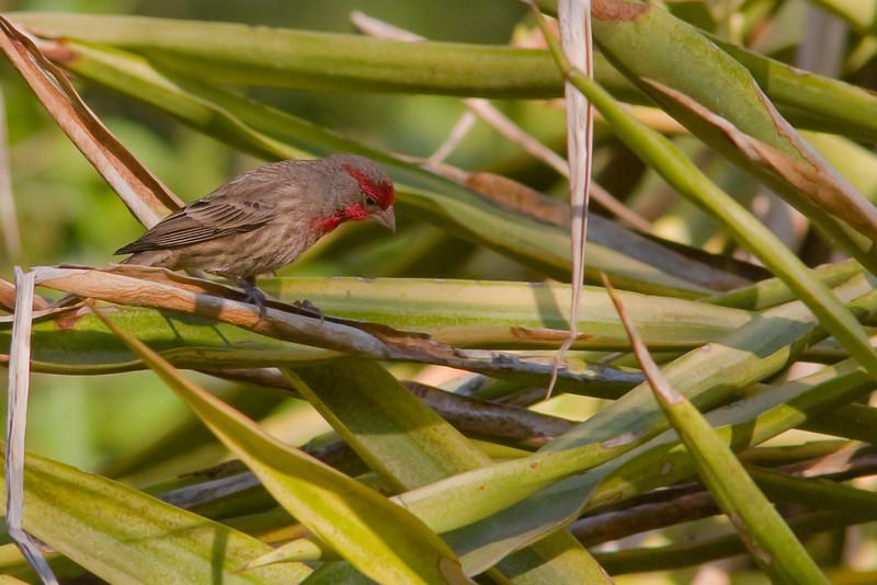 House Finch - roseipectus race, male