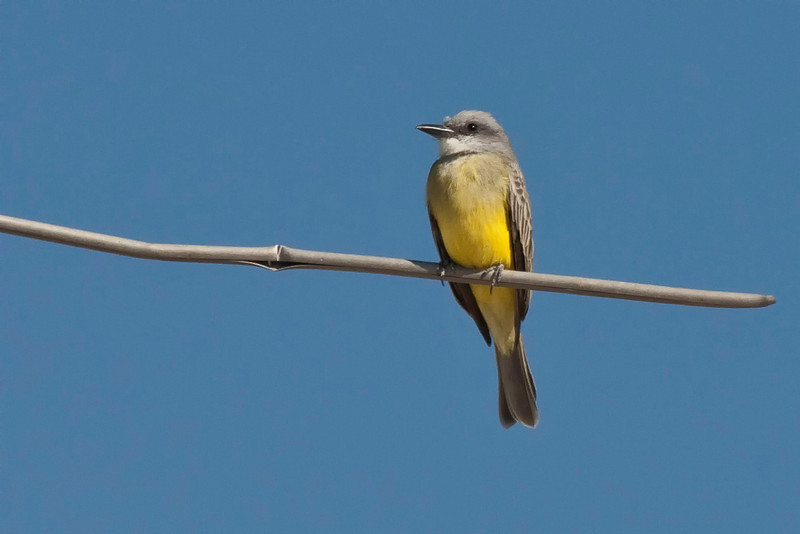 Tropical Kingbird.