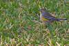 Yellow-rumped Warbler, Audubon's,