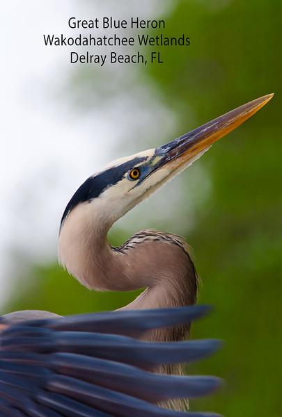 Great Blue Heron Artistry