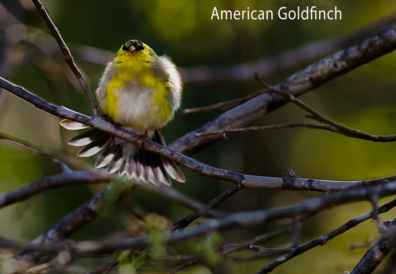 American Goldfinch, Tail Flared