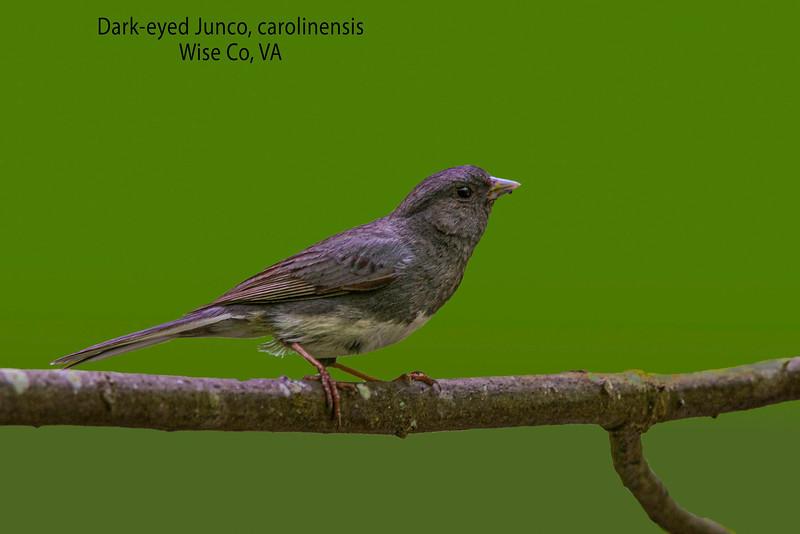 Dark-eyed Junco, carolinensis