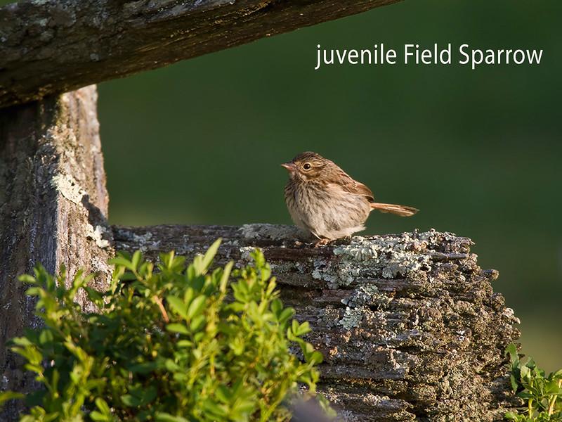 Juvenile Field Sparrow