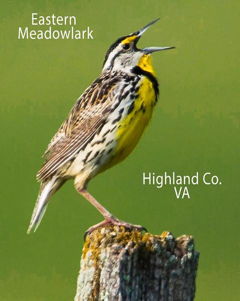 Eastern Meadowlark Singing