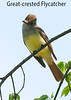 Great-crested Flycatcher, bent