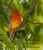 Summer Tanager, 1st Spring Male