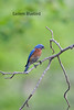 Eastern Bluebird,