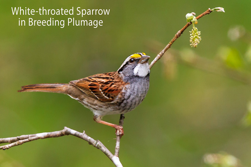 White-throated Sparrow in Breeding Plumage