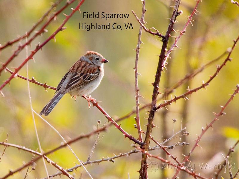 Field Sparrow, Highland Co, VA