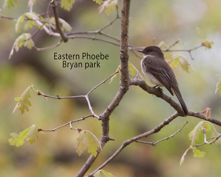 Eastern Phoebe