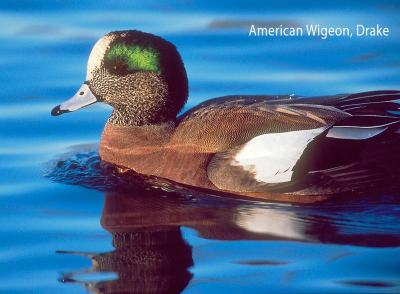 American Wigeon, Drake