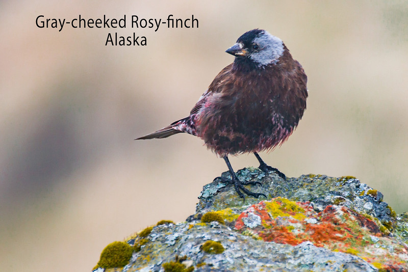 Gray-cheeked Rosy-finch
