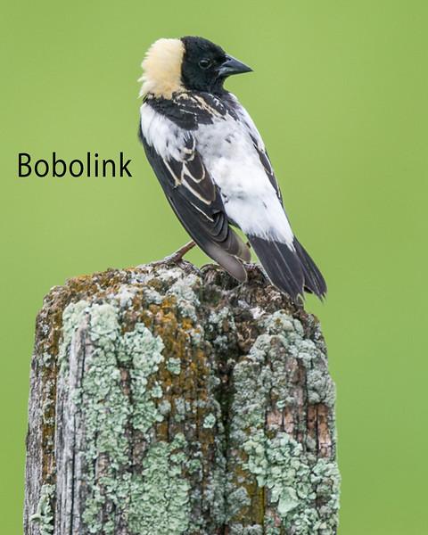 Bobolink Perching